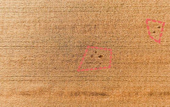Bild zweier Feldschäden auf einem Weizenfeld